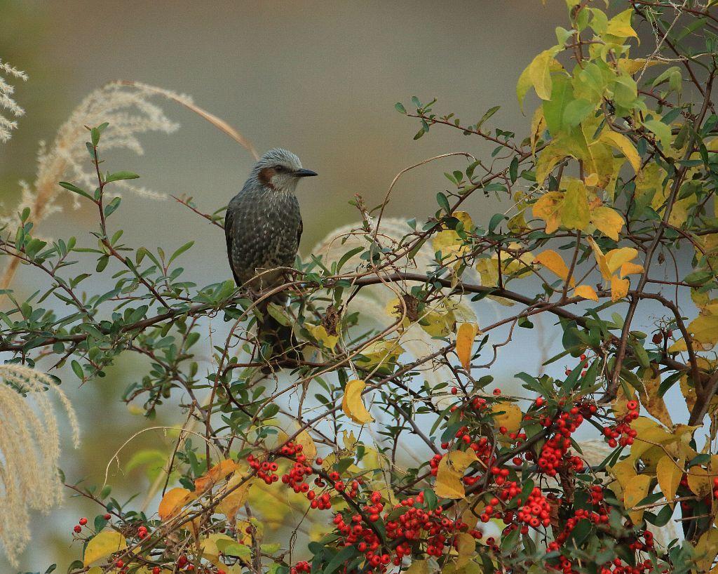 秋から冬へ:ヒヨドリ_f0105570_15302763.jpg