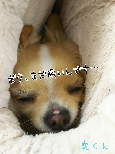 ちわわ♥♥_f0357682_17542369.jpg