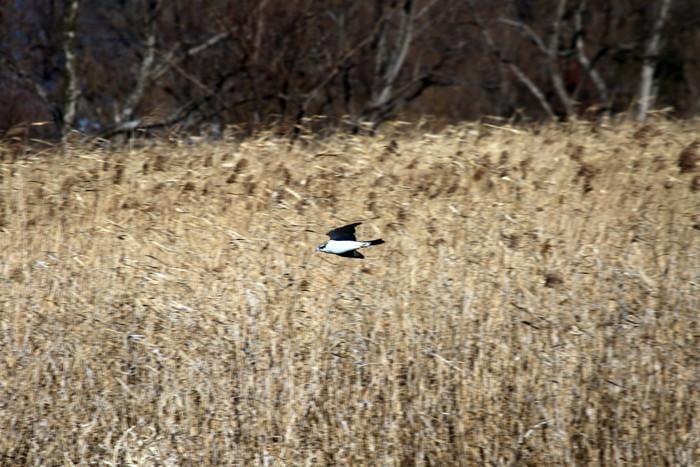 ツルシギ・ハマシギの飛翔を撮る_f0239515_1617969.jpg