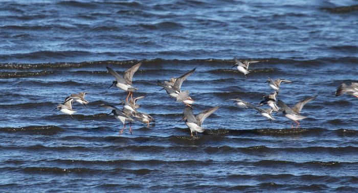 ツルシギ・ハマシギの飛翔を撮る_f0239515_20241627.jpg