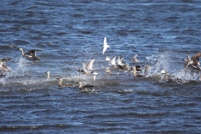 ツルシギ・ハマシギの飛翔を撮る_f0239515_7202010.jpg