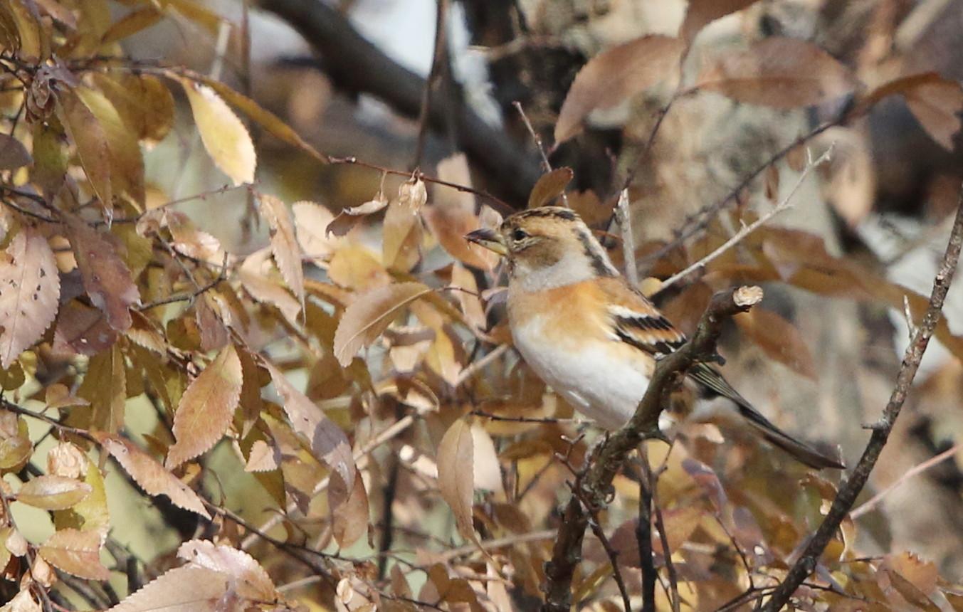 冬鳥を探しに出かけアトリに逢う(渡良瀬遊水地内にて)_f0239515_17294228.jpg