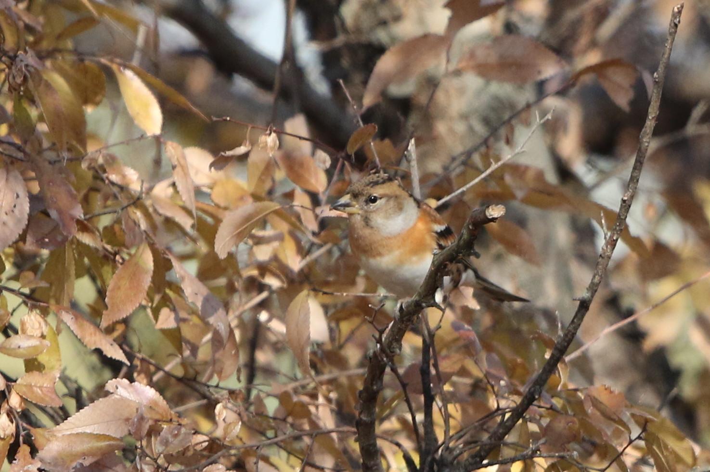 冬鳥を探しに出かけアトリに逢う(渡良瀬遊水地内にて)_f0239515_17303085.jpg
