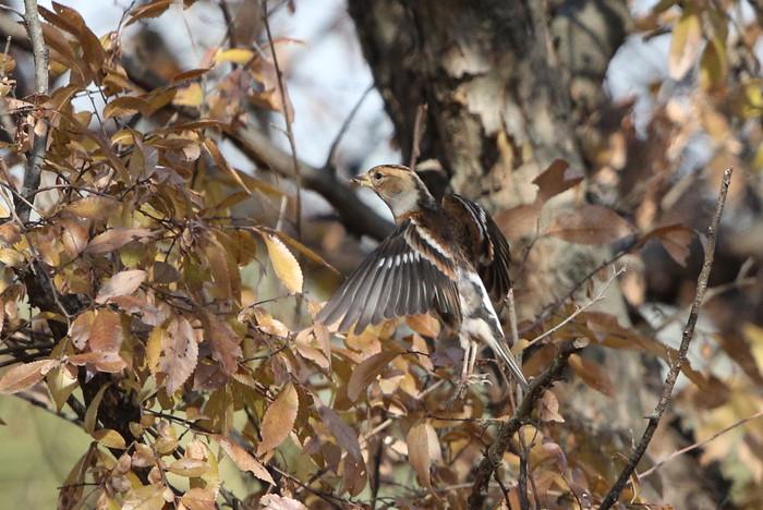 冬鳥を探しに出かけアトリに逢う(渡良瀬遊水地内にて)_f0239515_17304920.jpg