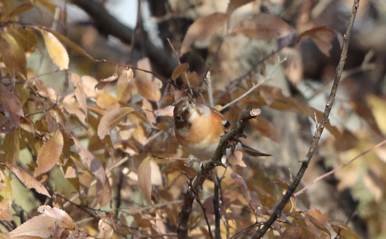 冬鳥を探しに出かけアトリに逢う(渡良瀬遊水地内にて)_f0239515_1730644.jpg