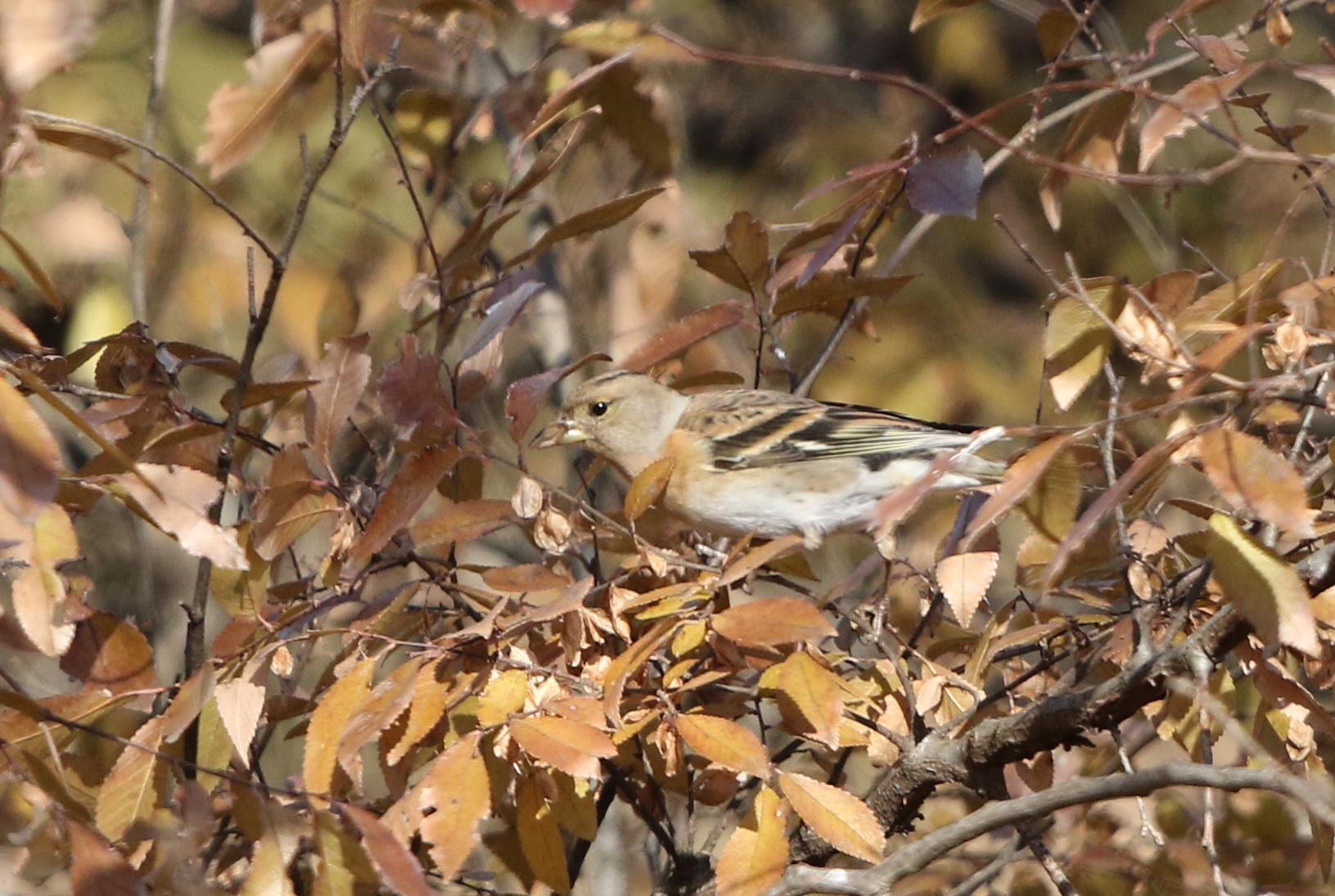 冬鳥を探しに出かけアトリに逢う(渡良瀬遊水地内にて)_f0239515_17311038.jpg