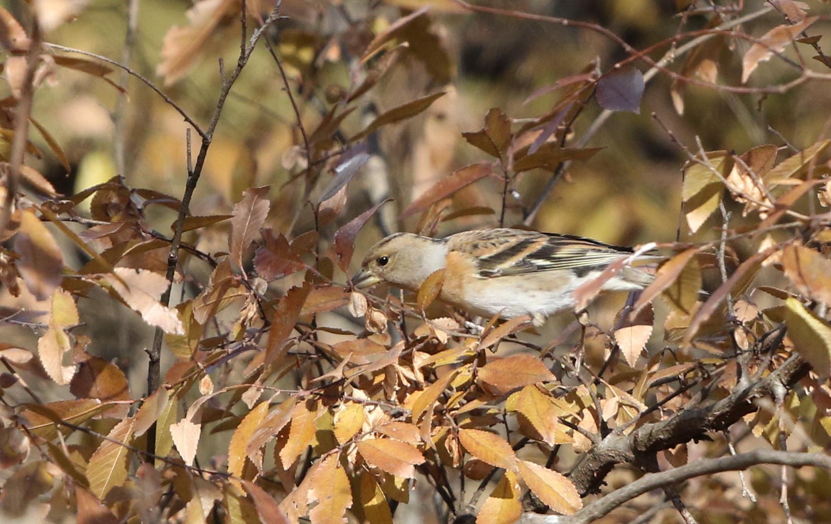 冬鳥を探しに出かけアトリに逢う(渡良瀬遊水地内にて)_f0239515_1731338.jpg