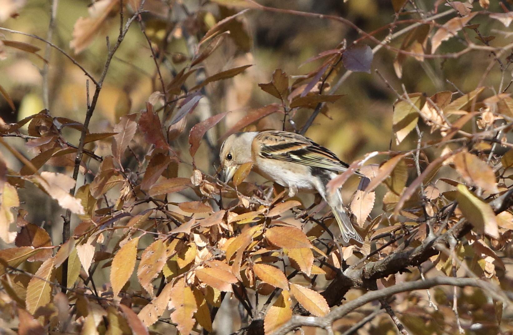 冬鳥を探しに出かけアトリに逢う(渡良瀬遊水地内にて)_f0239515_17315881.jpg