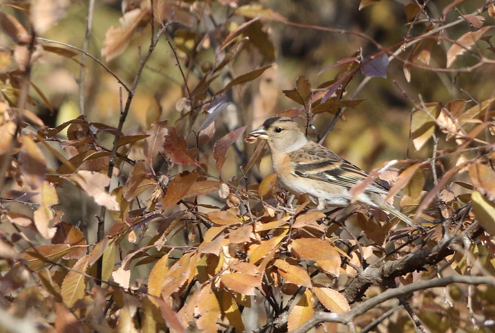 冬鳥を探しに出かけアトリに逢う(渡良瀬遊水地内にて)_f0239515_17321722.jpg
