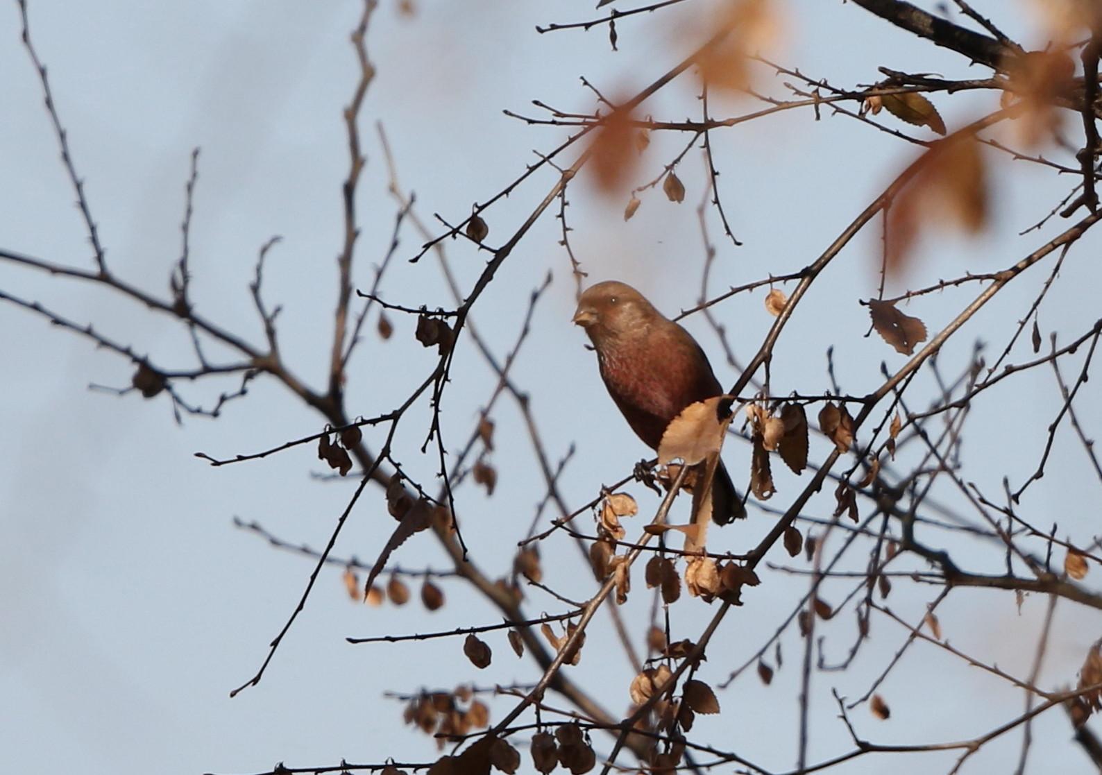 冬鳥を探しに出かけアトリに逢う(渡良瀬遊水地内にて)_f0239515_17403814.jpg