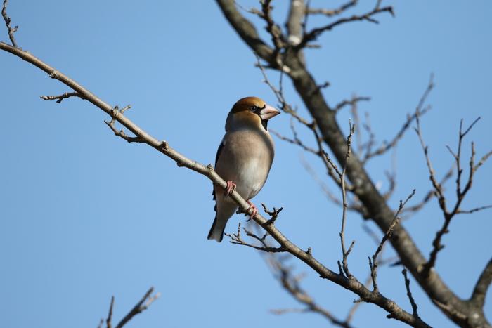 冬鳥を探しに出かけアトリに逢う(渡良瀬遊水地内にて)_f0239515_17424073.jpg