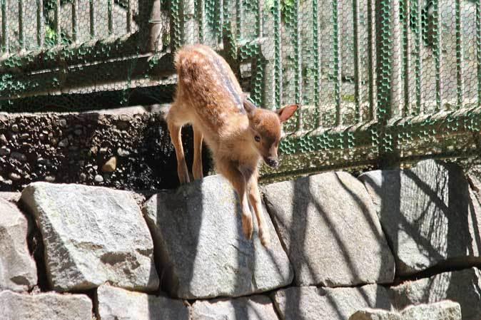 初夏のちびっ子祭~ヤクシカ、トナカイ、ニホンザルの子供たち(多摩動物公園)_b0355317_21085287.jpg