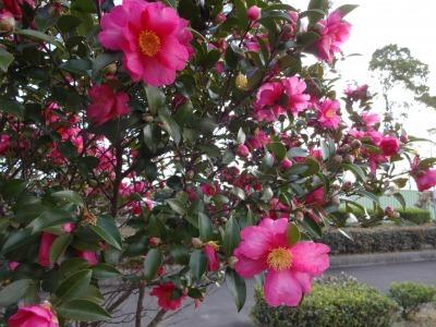 富浜緑地にて、サザンカの花が咲いています♫_d0338682_08533290.jpg