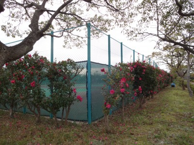 富浜緑地にて、サザンカの花が咲いています♫_d0338682_08582880.jpg