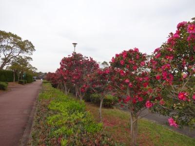 富浜緑地にて、サザンカの花が咲いています♫_d0338682_08583920.jpg
