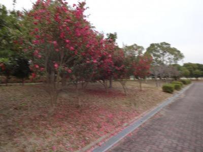 富浜緑地にて、サザンカの花が咲いています♫_d0338682_08585251.jpg