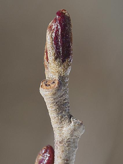 ハンノキの冬芽の観察_d0163696_17172582.jpg