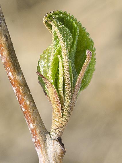 ハンノキの冬芽の観察_d0163696_17175882.jpg