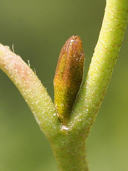 ハンノキの冬芽の観察_d0163696_17183633.jpg
