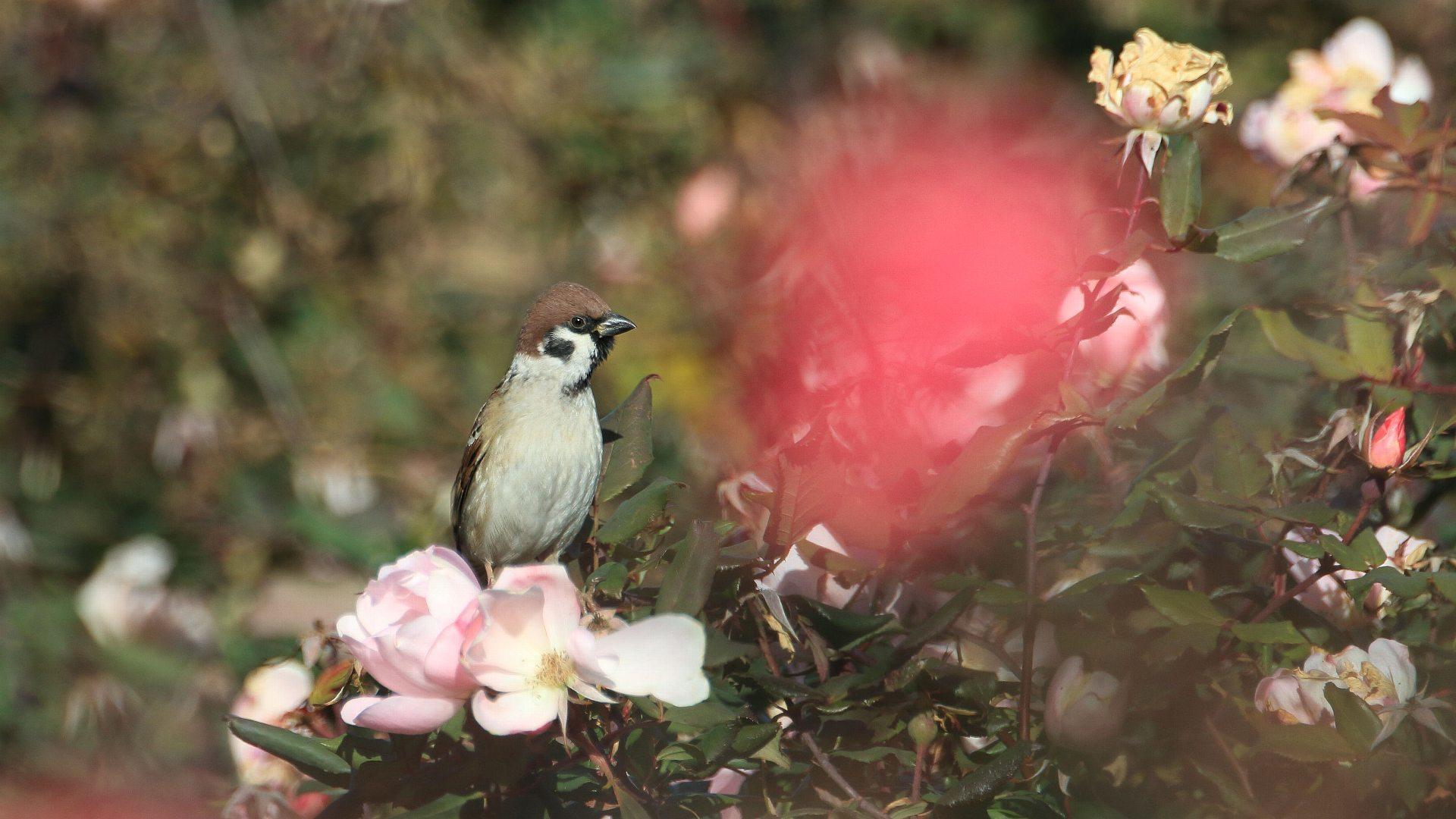 相模川ローズガーデンはまだ薔薇が綺麗!_f0105570_21490618.jpg