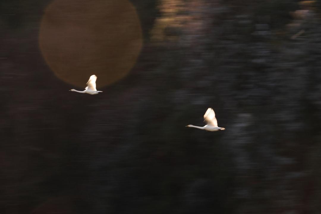 白鳥 ⑤ 那珂市古徳沼 2018・12・24_e0143883_05261987.jpg