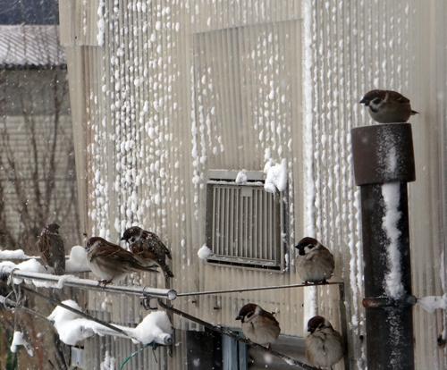 吹雪の朝のミャンハウス、中のスミレちゃん、カチンコチン♪_a0136293_16014328.jpg