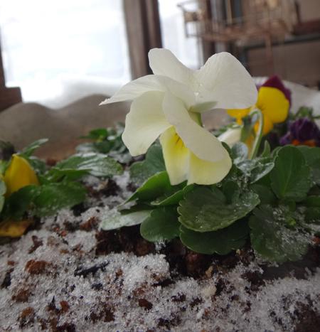 吹雪の朝のミャンハウス、中のスミレちゃん、カチンコチン♪_a0136293_16193192.jpg