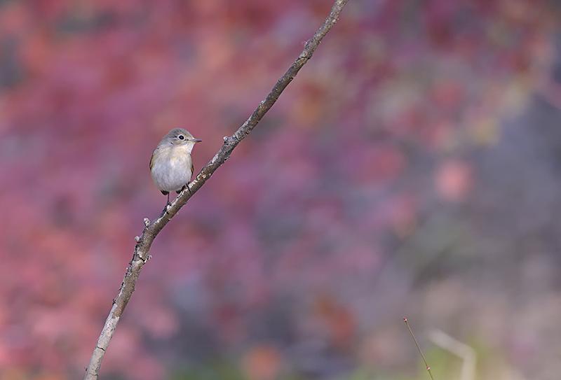 里山公園のニシオジロビタキ_c0042548_15372319.jpg