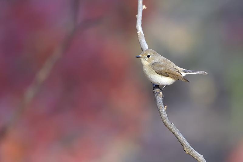 里山公園のニシオジロビタキ_c0042548_15461452.jpg