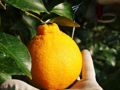 平成30年度の樹上完熟デコポン(肥後ポン)『ひのゆたか』収穫の様子とその美味さ!!(後編)_a0254656_15422934.jpg
