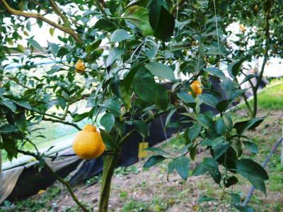 平成30年度の樹上完熟デコポン(肥後ポン)『ひのゆたか』収穫の様子とその美味さ!!(後編)_a0254656_16233465.jpg