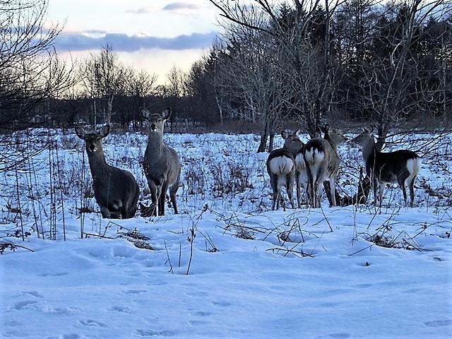 藤田八束の鉄道写真@北海道で出会った極寒の中の鹿たち、夕日に群れる鹿の群れ、北海道の列車達_d0181492_23172570.jpg