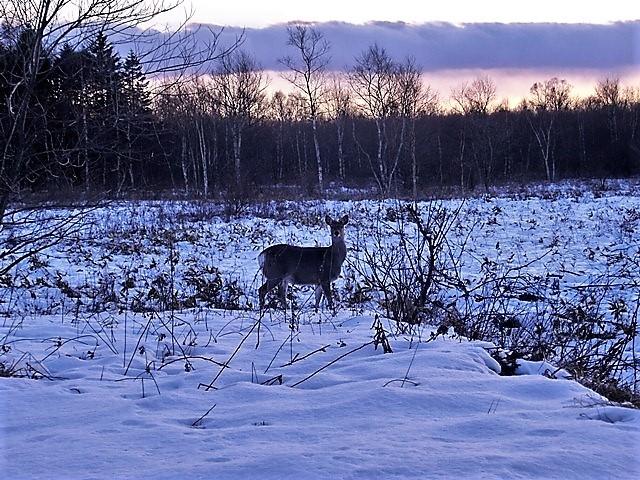 藤田八束の鉄道写真@北海道で出会った極寒の中の鹿たち、夕日に群れる鹿の群れ、北海道の列車達_d0181492_23173421.jpg