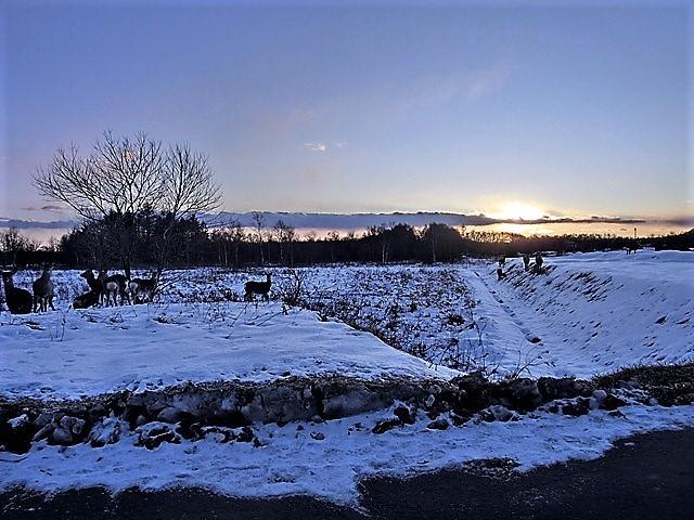 藤田八束の鉄道写真@北海道で出会った極寒の中の鹿たち、夕日に群れる鹿の群れ、北海道の列車達_d0181492_23174239.jpg
