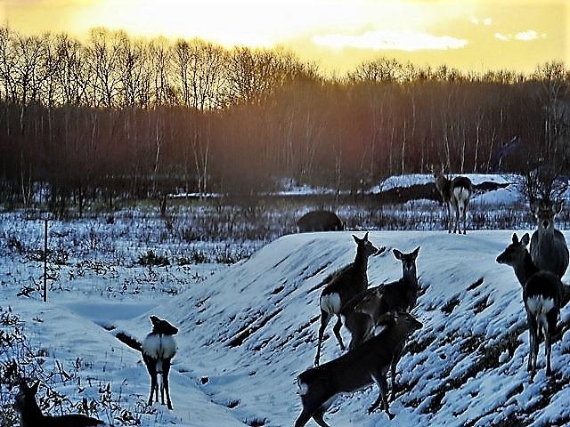 藤田八束の鉄道写真@北海道で出会った極寒の中の鹿たち、夕日に群れる鹿の群れ、北海道の列車達_d0181492_23181265.jpg