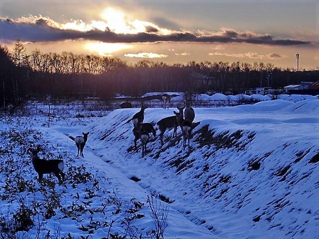 藤田八束の鉄道写真@北海道で出会った極寒の中の鹿たち、夕日に群れる鹿の群れ、北海道の列車達_d0181492_23182006.jpg
