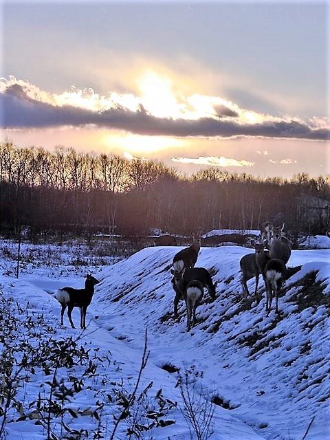 藤田八束の鉄道写真@北海道で出会った極寒の中の鹿たち、夕日に群れる鹿の群れ、北海道の列車達_d0181492_23183203.jpg