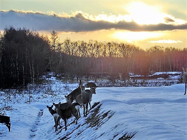 藤田八束の鉄道写真@北海道で出会った極寒の中の鹿たち、夕日に群れる鹿の群れ、北海道の列車達_d0181492_23184254.jpg