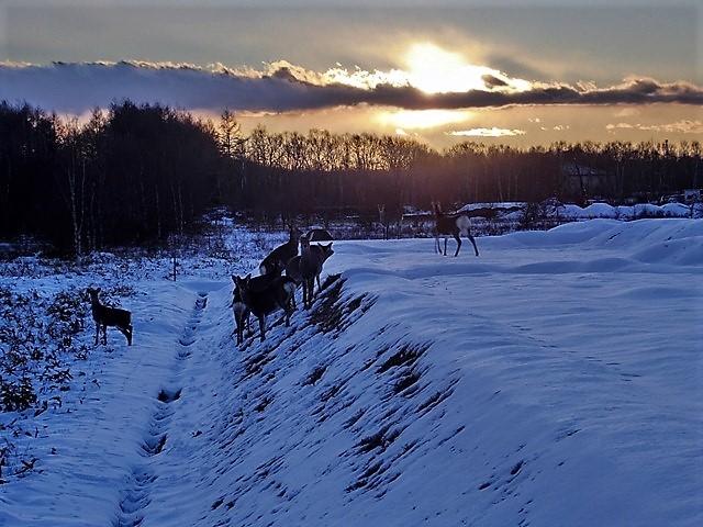 藤田八束の鉄道写真@北海道で出会った極寒の中の鹿たち、夕日に群れる鹿の群れ、北海道の列車達_d0181492_23185014.jpg