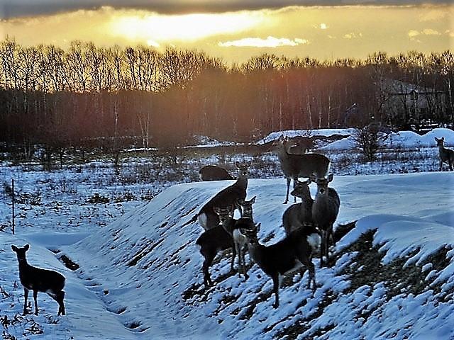 藤田八束の鉄道写真@北海道で出会った極寒の中の鹿たち、夕日に群れる鹿の群れ、北海道の列車達_d0181492_23185945.jpg