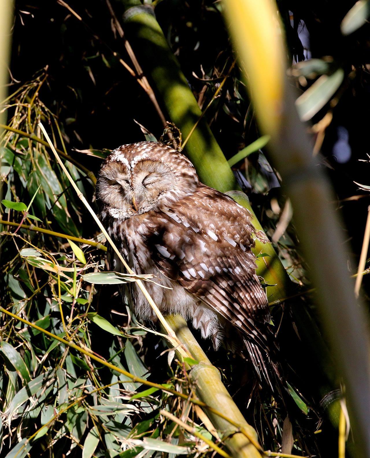 フクロウが竹やぶに飛んできた・・・_c0213607_18083736.jpg