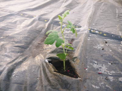 夢スイカ 平成31年3月下旬の収穫へ向け小玉スイカ『ひとりじめHM』の定植後の様子を現地取材_a0254656_16442558.jpg