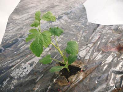夢スイカ 平成31年3月下旬の収穫へ向け小玉スイカ『ひとりじめHM』の定植後の様子を現地取材_a0254656_17272632.jpg