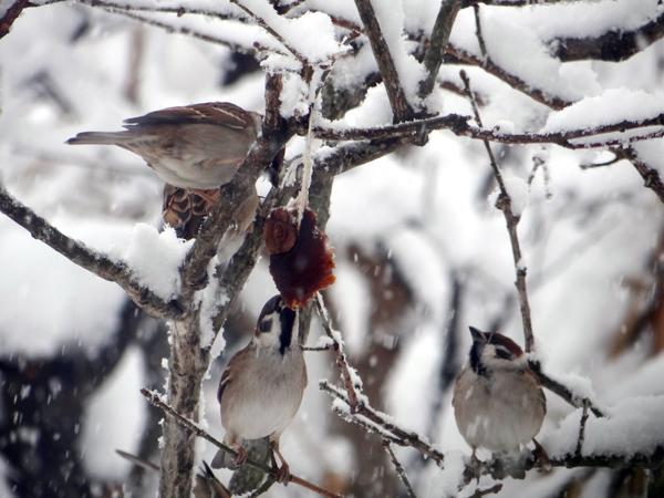 大晦日の雀ちゃんと降り積もる牡丹雪♪_a0136293_15051715.jpg