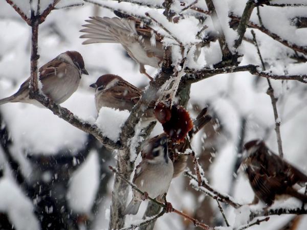 大晦日の雀ちゃんと降り積もる牡丹雪♪_a0136293_15131737.jpg