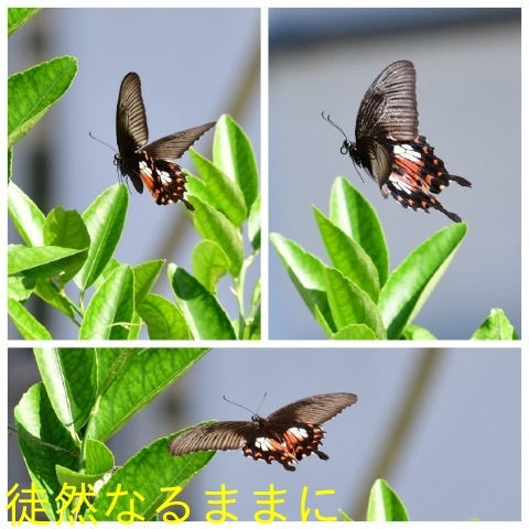 元旦 AM ホテルの周りの蝶たち_d0285540_21524829.jpg