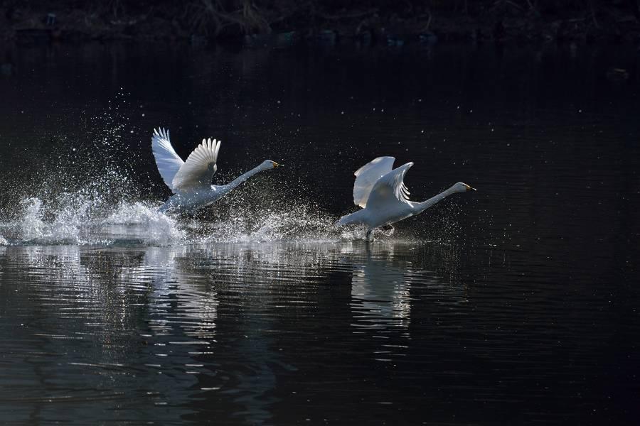 白鳥_b0223668_10592080.jpg