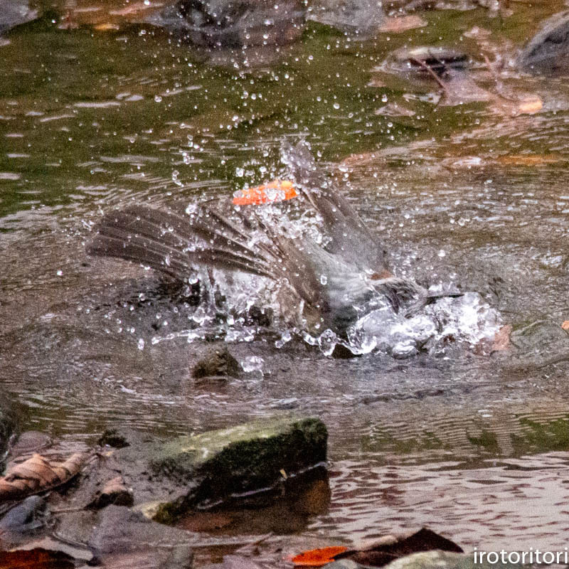 水浴び!!  (ヒヨドリ)  2018/12/28_d0146592_22541977.jpg