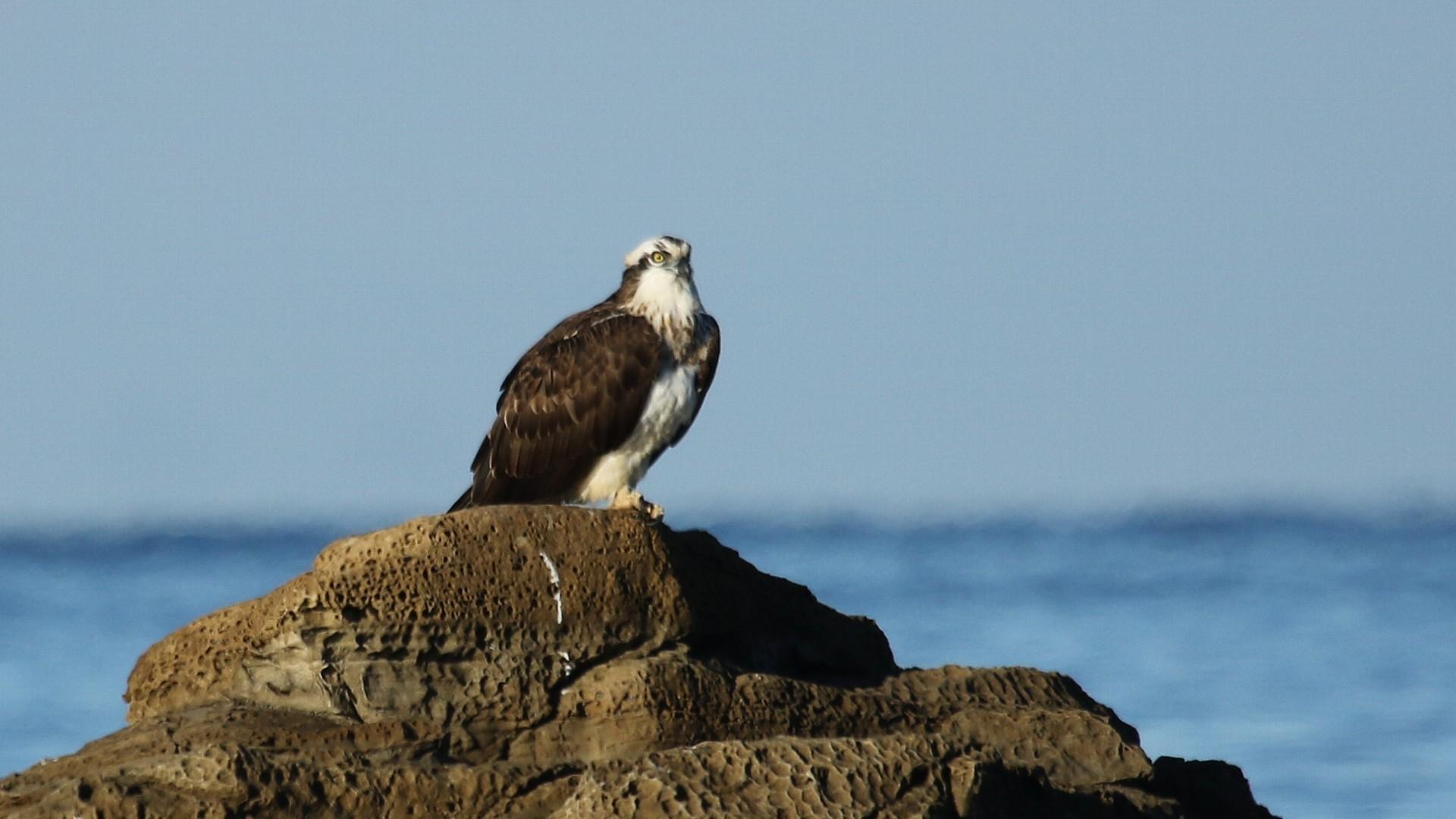 今年の初鳥も恒例の南紀ミサゴ_f0105570_11285020.jpg