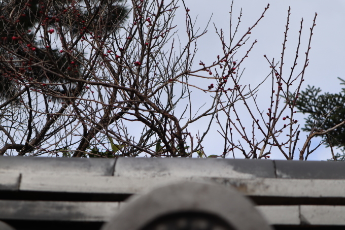 冬です! 蕾(つぼみ)_b0239402_15272927.jpg